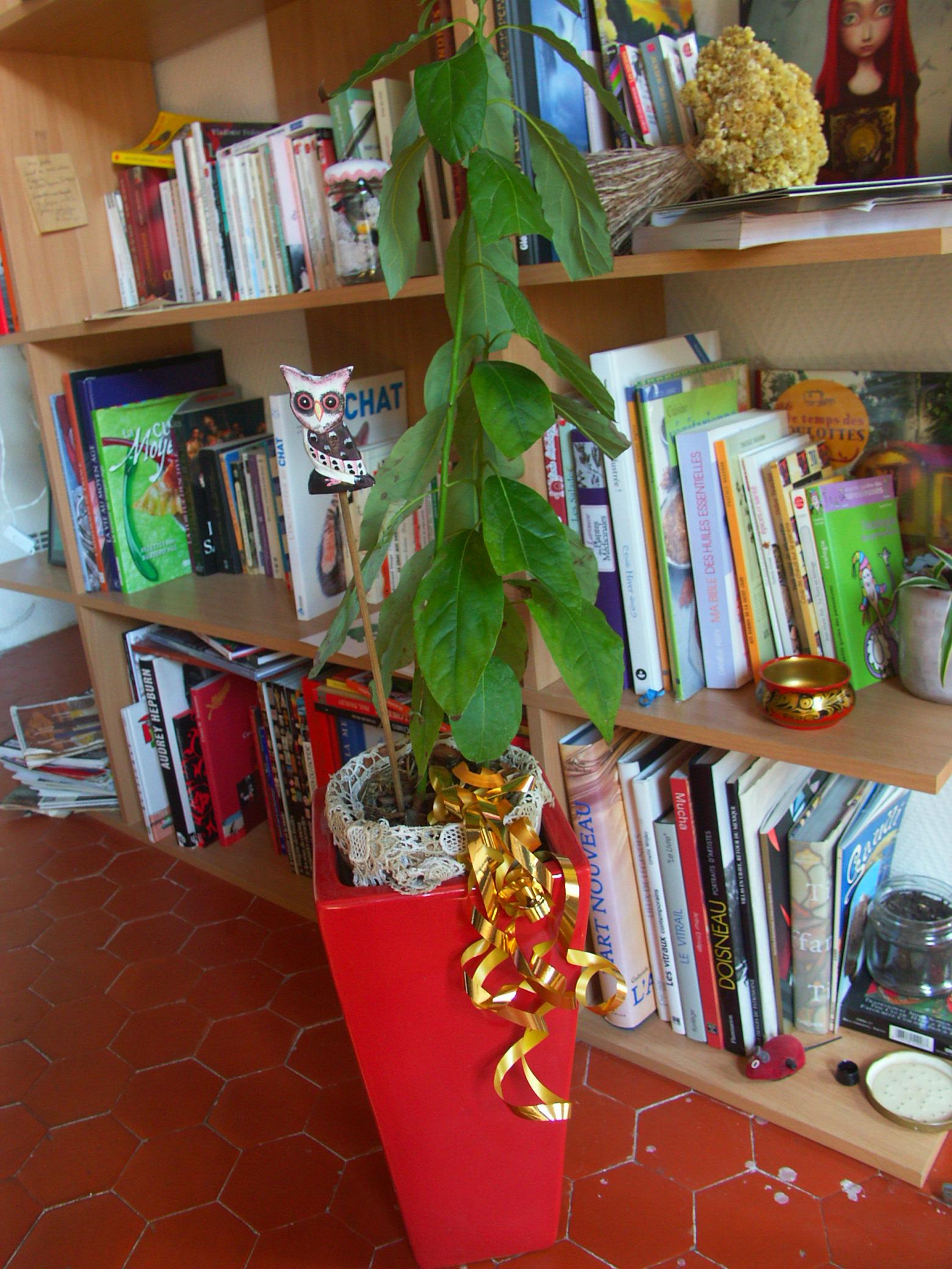 El avocado (crédit photo : Dormance Petit chat Grain)