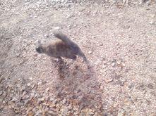 le chat écureuil