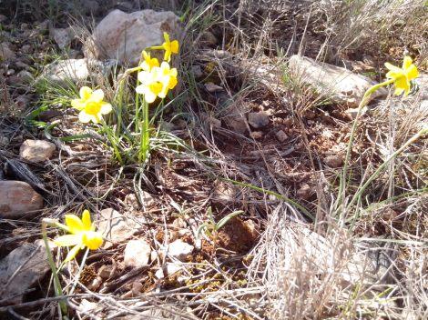 printemps jonquilles sauvages