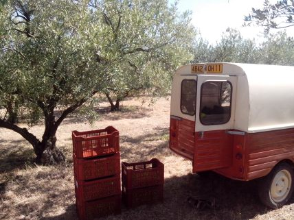 Ramassage des olives