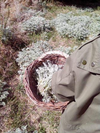L'armoise Crédit photo Dormance Petit Chat Grain